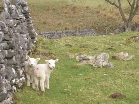 Malham Lambs