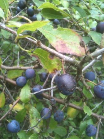 Sloe Berries - Blackthorn