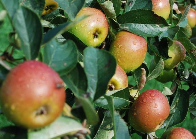 ryedale vineyard apples