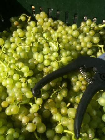 ryedale vineyard  Solaris Grapes