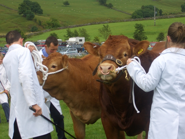 Malham Show Cattle