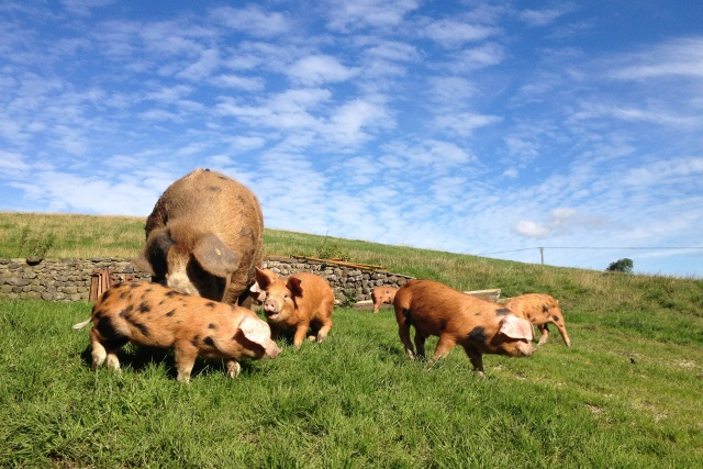 Malhamdale Oxford Sandy Black Pigs