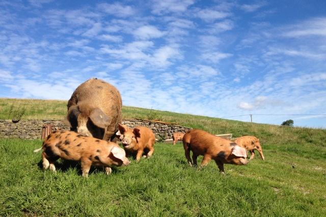 Malhamdale Oxford Sandy Black Pigs