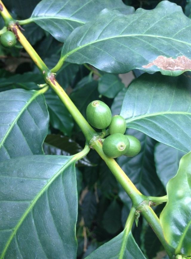 Yorkshire Coffee Beans growing in Harrogate