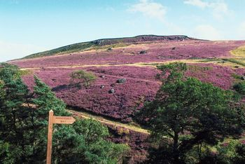 Yorkshire Heather Moor